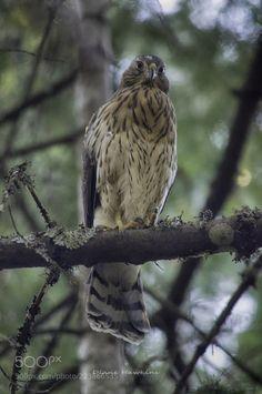 Hawk by DianeHawkins