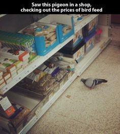 RuinMyWeek.com #funny #funnypictures #funnyphotos #funnypics #birds #pigeon