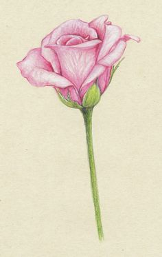 pencil drawings of flowers | pink roses...