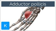 Adductor pollicis muscle - Origin, Insertion, Innervation & Function - H...