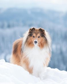 Sheep Dogs, Adorable Pictures, Strong Family, Shetland Sheepdog, Sheltie, Dog Photos, Collie, Animal Pictures, Norway