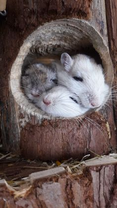 Hamsters, Gerbil, Pet Rodents, Animals And Pets, Funny Animals, Animal Pictures, Cute Pictures, Degu, Super Cute Animals