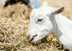 Goats can be finicky when it comes to eating. Here is a good goat-diet guide to keep your goats healthy.