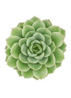 Echeveria 'Lime n Chile', forms concentric rosettes of chunky lime green, slightly translucent leaves that often are blushed reddish at tips