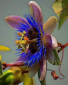 Passion Flower Greeting Card for Sale by John Kolenberg - today like the colors of this – so striking. by John Kolenberg - Strange Flowers, Unusual Flowers, Rare Flowers, Flowers Nature, Tropical Flowers, Amazing Flowers, Colorful Flowers, Unusual Plants, Exotic Plants