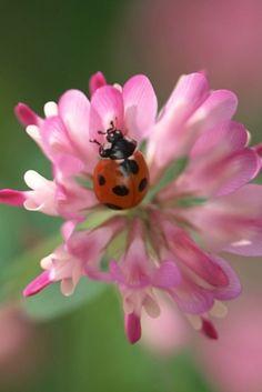 Visiting ladybug on pink flower