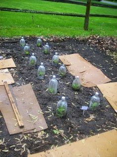 Recycle old soda/water bottles to protect you growing veggie seedlings. This woman is very clever!