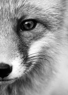 Ansichtkaart gefotografeerde vos in zwart-wit. Fotografie dieren kaart monochrme decoratie foto sfeerbeeld
