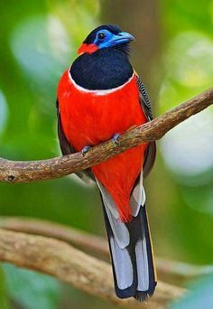 Red Naped Trogon- Brunei, Indonesia, Malaysia, Thailand