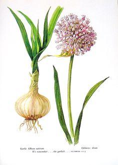 Garlic Vintage 1957 Botanical Print with by mysunshinevintage