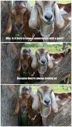 Keeping Goats, Raising Goats, Cute Goats, Funny Goats, Cute Funny Animals, Funny Animal Pictures, Animals And Pets, Baby Animals, Goat Toys
