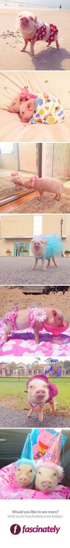 The Cutest Pig at the Beach