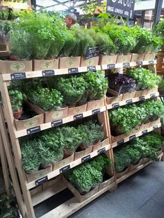 Herbs looking super lush not like our supermarket versions.