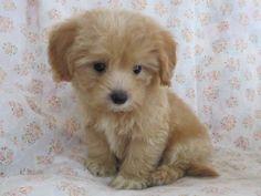 小型ミックス犬 マルプー