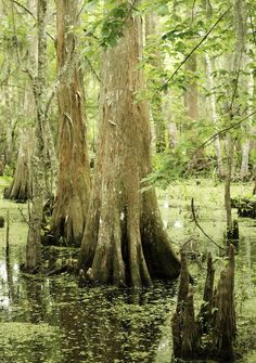 Cyprus trees in Barataria Swamp from Urban Comfort  http://www.experiencejefferson.com/