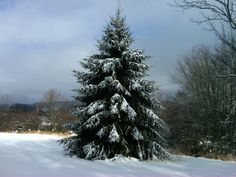 Snowy christmas tree in my lower front yard.