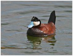 FindNature.com - Photos - Érismature rousse, Ruddy Duck, Oxyura jamaicensis