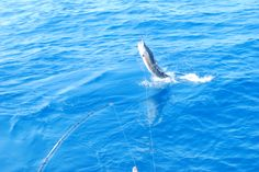 Sail fishing in Cancun Mexico and Isla Mujeres.   Morning sailfish in Cancun.   Simply the best SportFishing charter in Cancun.   #fishingcancun #sportfishingcancun #kianahssportfishing  www.deepseafishingcancun.con