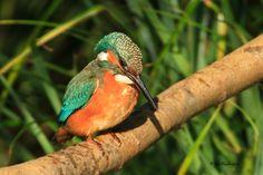 Gepind vanaf vroegevogels.vara.nl - IJsvogel