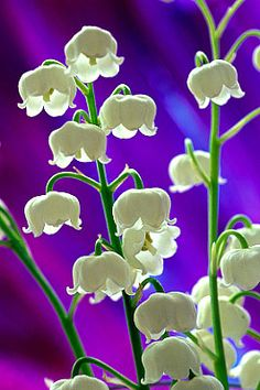 Lily of the Valley, photographed by Andy Small