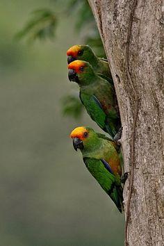 Foto jandaia-de-testa-vermelha (Aratinga auricapillus) por Sávio Bruno | Wiki Aves - A Enciclopédia das Aves do Brasil