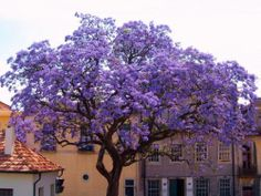 Paulownia tomentosa (Empress Tree / Foxglove Tree) 50 Viable seeds | eBay