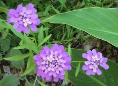 Wild flowers, Sonoma County Blossom Trail — Sebastopol, CA http://www.sonomahort.com/ — at Sonoma Horticultural Nursery.