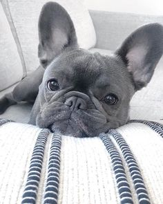 Terrific Photos dogs and puppies bulldog Suggestions Complete you're keen on your puppy? Proper doggy attention in addition to Cute French Bulldog, French Bulldog Puppies, Cute Dogs And Puppies, Doggies, Cute Little Animals, Cute Funny Animals, Cãezinhos Bulldog, Baby Bulldogs, Funny Bulldog