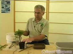 Learn professional tips on how to plant a bonsai tree, in this free video. Expert: Mike Hansen Bio: Mike Hansen, owner of Midwest Bonsai, has been growing, c. Ficus Bonsai, Indoor Bonsai, Bonsai Plants, Bonsai Garden, Garden Plants, Bonsai Trees, Bonsai Soil, House Plants, Ikebana