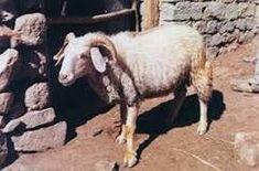 Sheep Breeds, Goats, Horses, Animals, Animales, Animaux, Animal, Animais, Horse
