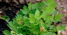 Léčivý libeček - 10 přínosů pro zdraví a 8 věcí, které jste o něm nevěděli Healing Herbs, Medicinal Herbs, Health Advice, Natural Treatments, Herb Garden, Korn, Parsley, Natural Health, Ale