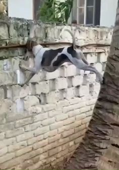 it's my first time to see a dog could climbing on the wall and tree Cute Funny Dogs, Funny Dog Memes, Funny Dog Videos, Funny Animal Memes, Funny Animal Pictures, Cute Funny Animals, Cute Baby Animals, Wild Animals, Funny Dog Gif