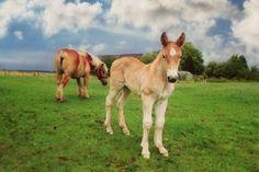 Baby Horses, Draft Horses, All The Pretty Horses, Beautiful Horses, Horse Pictures, Baby Pictures, Belgian Horse, The Barnyard, Horse World