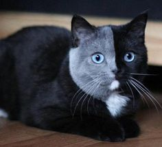 Fun coloration produced by a French cat breeder introducing blue eyes to British Shorthairs.