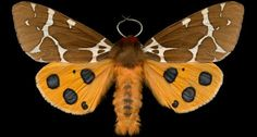 """""""Jim des Rivières was two years into photographing exotic butterflies, when he realized he ought to turn his attention to moths. Generally speaking, the moth is considered to be the butterfly's homely cousin. """"But the beauty of moths is really quite surprising,"""" he says."""" ~via: @SmithsonianMag"""