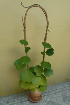 Hoya kerrii -hartjesplant the bamboo would be great for pothos etc