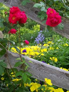 Set along a road, this perennial garden is a colorful collection of vibrant blossoms. Featuring bellflowers, yellow primrose and deep red roses it is a wonderful scene complemented by the the weathered fence......so stunning!!