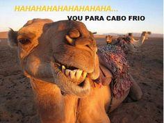 JORNAL O RESUMO: Camelos estão vindo para Cabo Frio