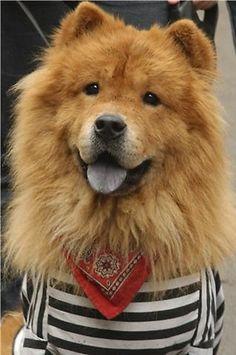 Bolke, my dog - chow chow