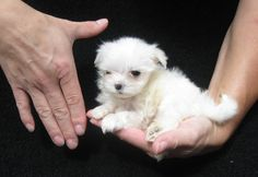 CHINA CUP MALTESE PUPPY AT 8 WEEKS (13 OZ) FROM LACHICPATTE.COM