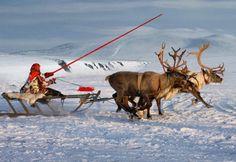 reindeer in trouble
