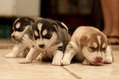 Filhotes de Husky Siberiano - Siberian Husky puppies