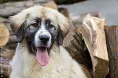 Carpathian Shepherd dog photo | Romanian Carpathian Shepherd Dog. | FCI Group 1 - Herding