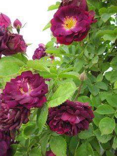 Hybrid Multiflora Rambling Rose: Rosa 'Bleu Magenta' (origins unknown, c.1900)