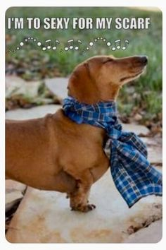 I'm to sexy for my scarf dachshund shaming, dachshund tattoo, dachshund Funny Dachshund, Dachshund Puppies, Weenie Dogs, Dachshund Love, Funny Dogs, Cute Puppies, Cute Dogs, Funny Animals, Cute Animals