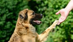 Teaching your dog to shake hands, or paws, is easy to do with this guide. Read Animal Behavior College's dog training tips to train your dog to shake. Positive Dog Training, Training Your Puppy, Dog Training Tips, Animal Behavior College, Dog School, Dog Collar Tags, Dog Training Techniques, Military Dogs, Dog Costumes