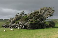 Windswept Trees in the Brute Slope Point, New Zealand. The southernmost point of beautiful New Zealand mainly is used for sheep herding. Photo by: Ben Seabird Beautiful World, Beautiful Places, Twisted Tree, New Zealand South Island, Nature Tree, Growing Tree, Places To Visit, Around The Worlds, Southern
