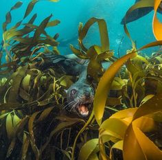 """Photograph by for while on assignment in the Falkland Islands. // Playing hide-and-seek with fur seals in the dense kelp forests…"" Kelp Forest, Marine Ecosystem, Natural Ecosystem, Green Ocean, Fantasy Art Landscapes, Forest Photography, Travel Photography, Ocean Creatures, Mundo Animal"