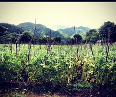 #tomato #fields #farming #green #agriculture #nature #mountains #growth #vegetables #DR