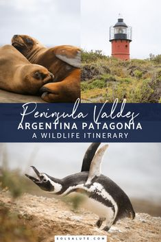 How to spend four days in the Peninsula Valdes, in Argentine Patagonia near Puerto Madryn. Whale watching in Puerto Piramides, elephant seals, penguins, and sea lions and where to see them and a visit to Puerto Madryn. South America Destinations, South America Travel, Travel Destinations, Holiday Destinations, Visit Argentina, Argentina Travel, Orcas, Machu Picchu, Ecuador